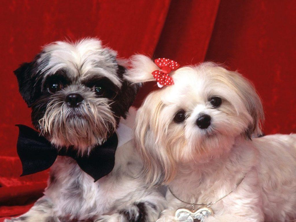 Домашняя собака Ши-тцу